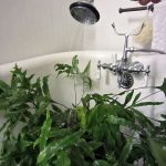 Clean your plants in the shower